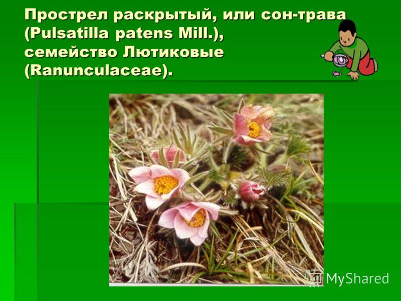 Прострел раскрытый, или сон-трава (Pulsatilla patens Mill.), семейство Лютиковые (Ranunculaceae).