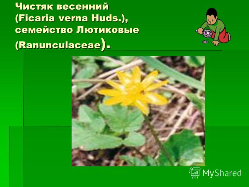 Чистяк весенний (Ficaria verna Huds.), семейство Лютиковые (Ranunculaceae ).