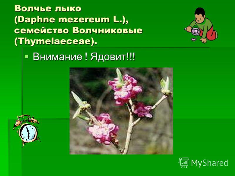 Волчье лыко (Daphne mezereum L.), семейство Волчниковые (Thymelaeceae). Внимание ! Ядовит!!! Внимание ! Ядовит!!!