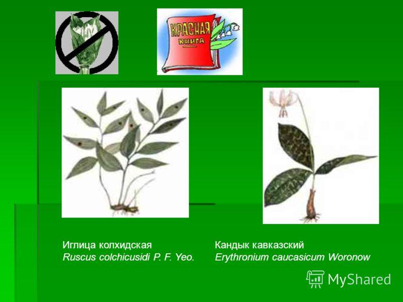 Кандык кавказский Erythronium caucasicum Woronow Иглица колхидская Ruscus colchicusidi P. F. Yeo.