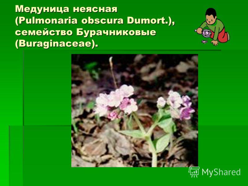 Медуница неясная (Pulmonaria obscura Dumort.), семейство Бурачниковые (Buraginaceae).