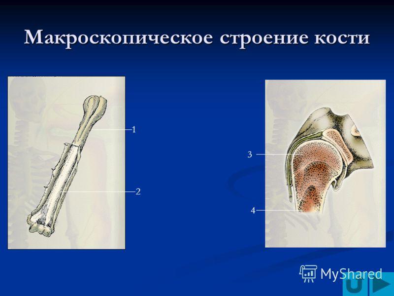 Макроскопическое строение кости 1 2 3 4
