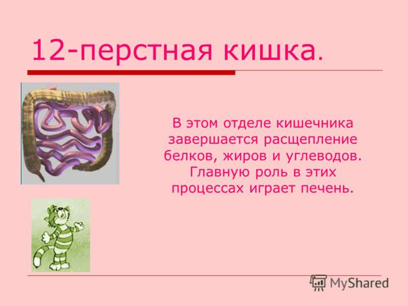 12-перстная кишка. В этом отделе кишечника завершается расщепление белков, жиров и углеводов. Главную роль в этих процессах играет печень.
