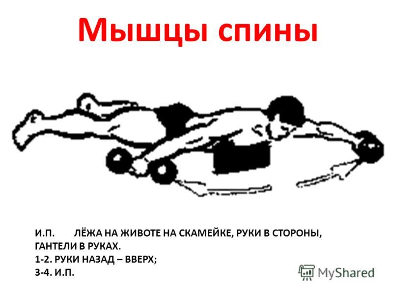 И.П. ЛЁЖА НА ЖИВОТЕ НА СКАМЕЙКЕ, РУКИ В СТОРОНЫ, ГАНТЕЛИ В РУКАХ. 1-2. РУКИ НАЗАД – ВВЕРХ; 3-4. И.П. Мышцы спины