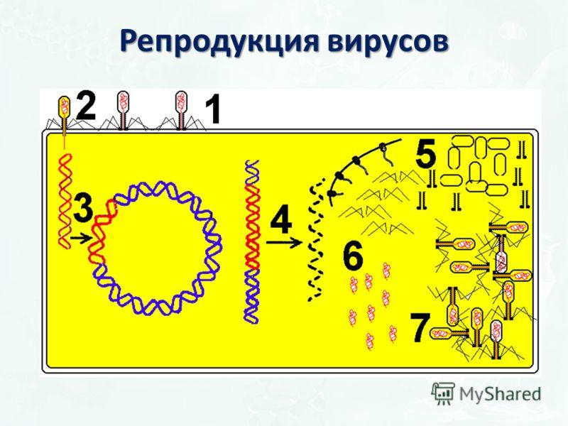 Репродукция вирусов