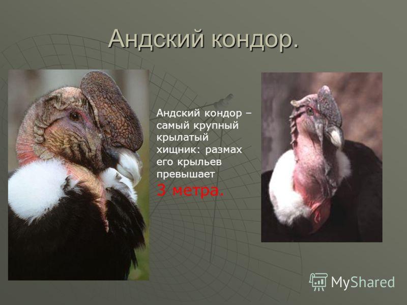 Андский кондор. Андский кондор – самый крупный крылатый хищник: размах его крыльев превышает 3 метра.