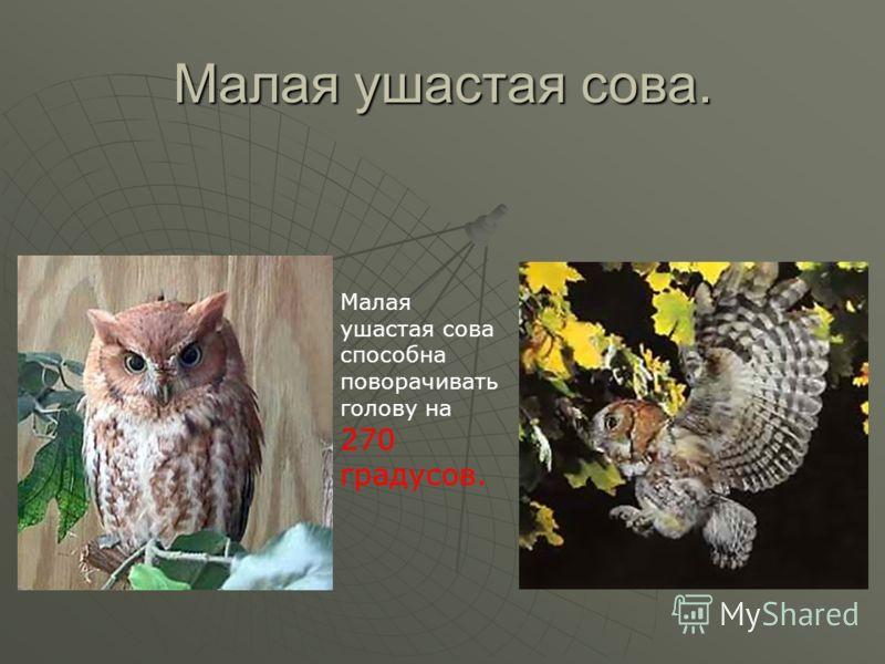 Малая ушастая сова. Малая ушастая сова способна поворачивать голову на 270 градусов.