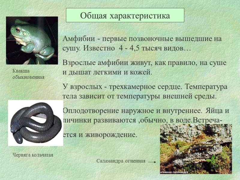 Общая характеристика Амфибии - первые позвоночные вышедшие на сушу. Известно 4 - 4,5 тысяч видов… Взрослые амфибии живут, как правило, на суше и дышат легкими и кожей. У взрослых - трехкамерное сердце. Температура тела зависит от температуры внешней