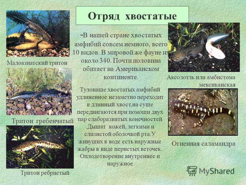 Отряд хвостатые Малоазиатский тритон Тритон гребенчатый Тритон ребристый Аксолотль или амбистома мексиканская Огненная саламандра - В нашей стране хвостатых амфибий совсем немного, всего 10 видов. В мировой же фауне их около 340. Почти половина обита