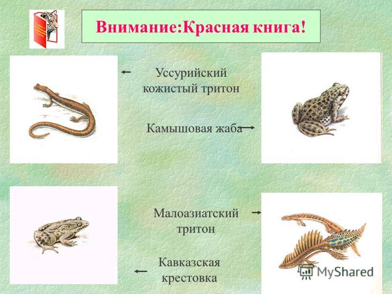 Внимание:Красная книга! Уссурийский кожистый тритон Камышовая жаба Малоазиатский тритон Кавказская крестовка