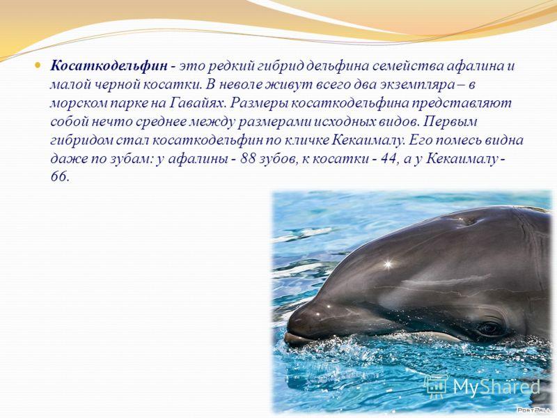 Косаткодельфин - это редкий гибрид дельфина семейства афалина и малой черной косатки. В неволе живут всего два экземпляра – в морском парке на Гавайях. Размеры косаткодельфина представляют собой нечто среднее между размерами исходных видов. Первым ги