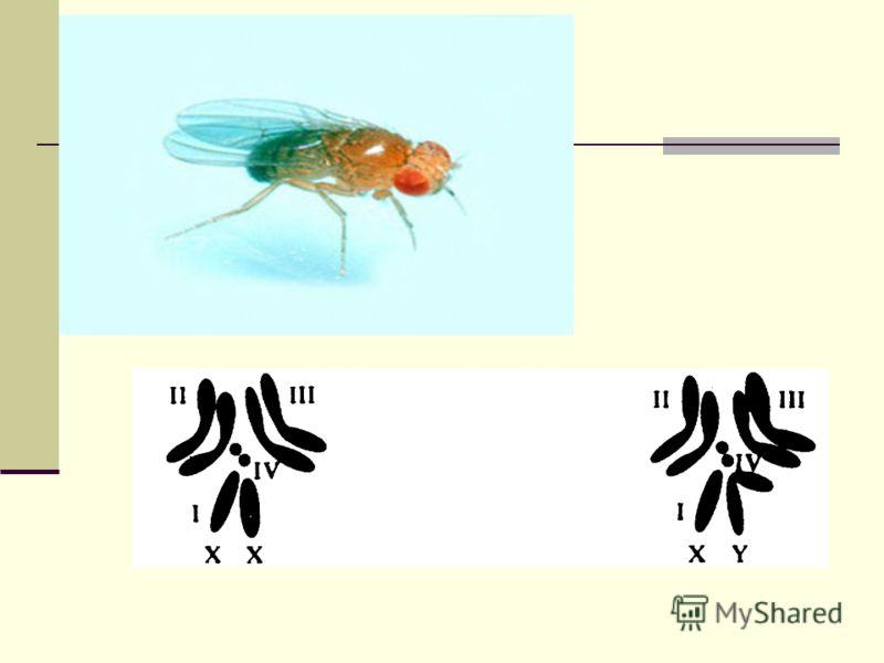 Особенно четким примером метода установления зависимости между фенотипическими признаками организмов и строением их хромосом служит определение пола. У дрозофилы фенотипические различия между двумя полами явно связаны с различиями в хромосомах