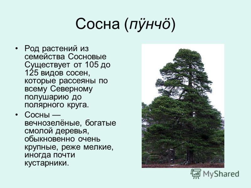 Сосна (пÿнчö) Род растений из семейства Сосновые Существует от 105 до 125 видов сосен, которые рассеяны по всему Северному полушарию до полярного круга. Сосны вечнозелёные, богатые смолой деревья, обыкновенно очень крупные, реже мелкие, иногда почти
