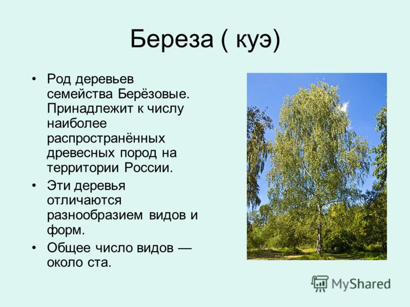 Береза ( куэ) Род деревьев семейства Берёзовые. Принадлежит к числу наиболее распространённых древесных пород на территории России. Эти деревья отличаются разнообразием видов и форм. Общее число видов около ста.