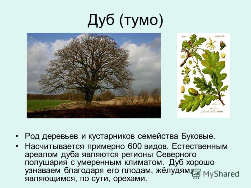 Дуб (тумо) Род деревьев и кустарников семейства Буковые. Насчитывается примерно 600 видов. Естественным ареалом дуба являются регионы Северного полушария с умеренным климатом. Дуб хорошо узнаваем благодаря его плодам, жёлудям, являющимся, по сути, ор