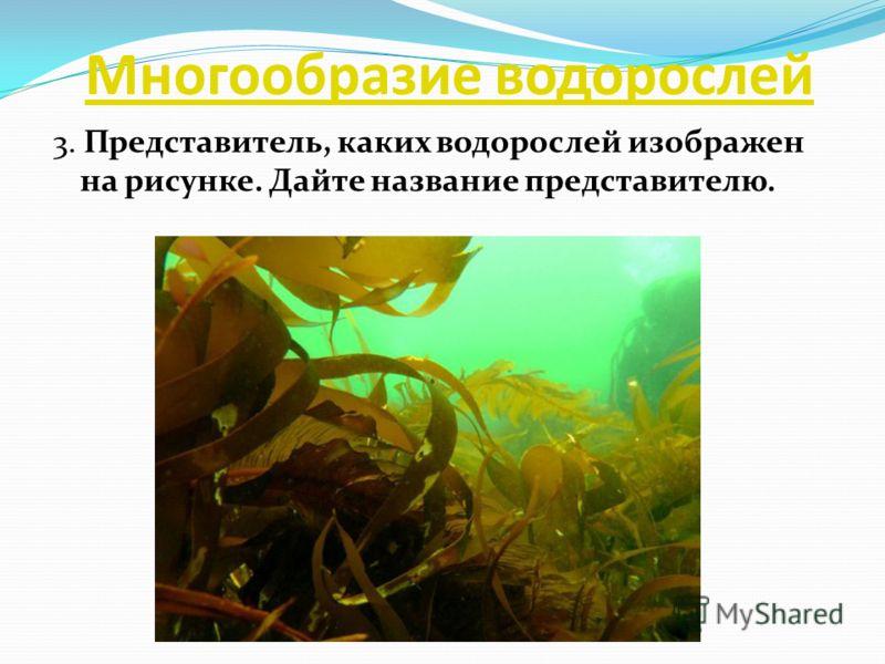 Многообразие водорослей 3. Представитель, каких водорослей изображен на рисунке. Дайте название представителю.
