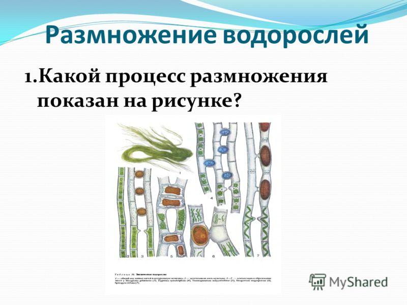 Размножение водорослей 1.Какой процесс размножения показан на рисунке?