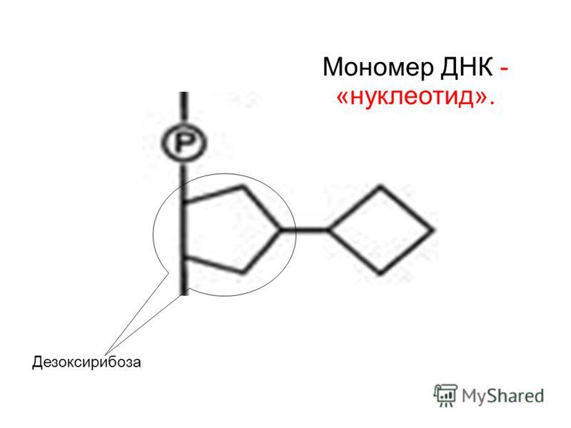 Дезоксирибоза Мономер ДНК - «нуклеотид».