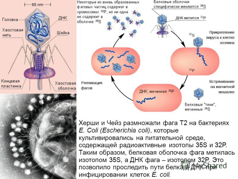 Херши и Чейз размножали фага T2 на бактериях E. Coli (Escherichia coli), которые культивировались на питательной среде, содержащей радиоактивные изотопы 35S и 32P. Таким образом, белковая оболочка фага метилась изотопом 35S, а ДНК фага – изотопом 32P