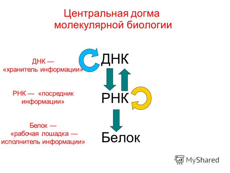 Центральная догма молекулярной биологии ДНК РНК Белок ДНК «хранитель информации» РНК «посредник информации» Белок «рабочая лошадка исполнитель информации»