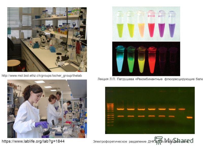 http://www.mol.biol.ethz.ch/groups/locher_group/thelab https://www.lablife.org/lab?g=1844 Лекция Л.П. Патрушева «Рекомбинантные флюоресцирующие белки Электрофоретическое разделение ДНК в 1 % агарозном геле