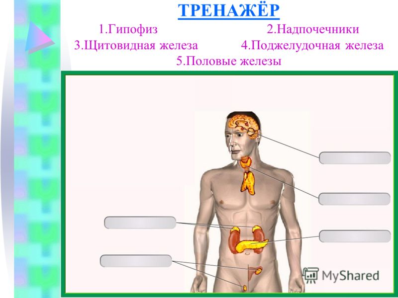 ТРЕНАЖЁР 1.Гипофиз 2.Надпочечники 3.Щитовидная железа 4.Поджелудочная железа 5.Половые железы