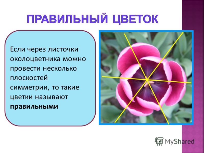 Если через листочки околоцветника можно провести несколько плоскостей симметрии, то такие цветки называют правильными