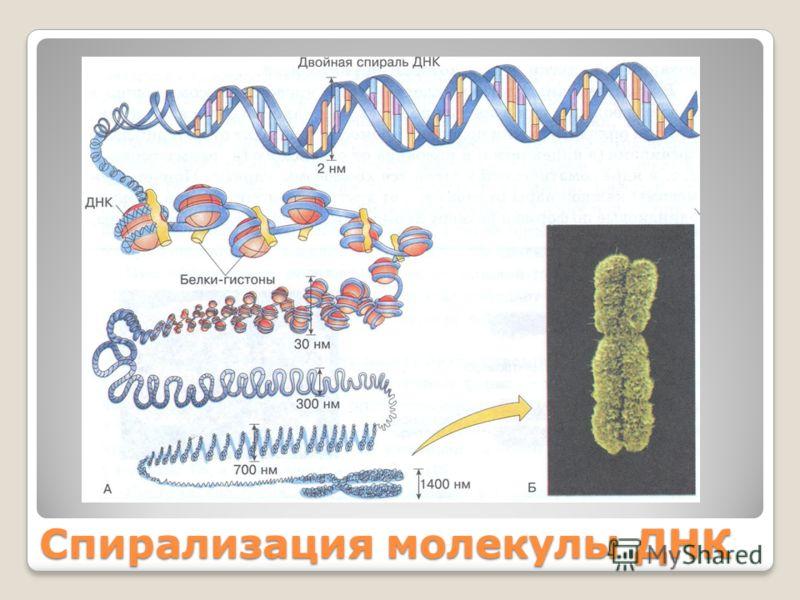 Спирализация молекулы ДНК