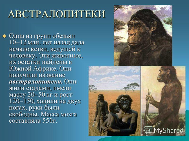 АВСТРАЛОПИТЕКИ Одна из групп обезьян 10–12 млн. лет назад дала начало ветви, ведущей к человеку. Эти животные, их остатки найдены в Южной Африке. Они получили название австралопитеки. Они жили стадами, имели массу 20–50 кг и рост 120–150, ходили на д