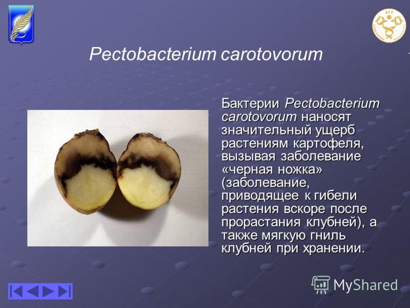 Pectobacterium carotovorum Бактерии Pectobacterium carotovorum наносят значительный ущерб растениям картофеля, вызывая заболевание «черная ножка» (заболевание, приводящее к гибели растения вскоре после прорастания клубней), а также мягкую гниль клубн