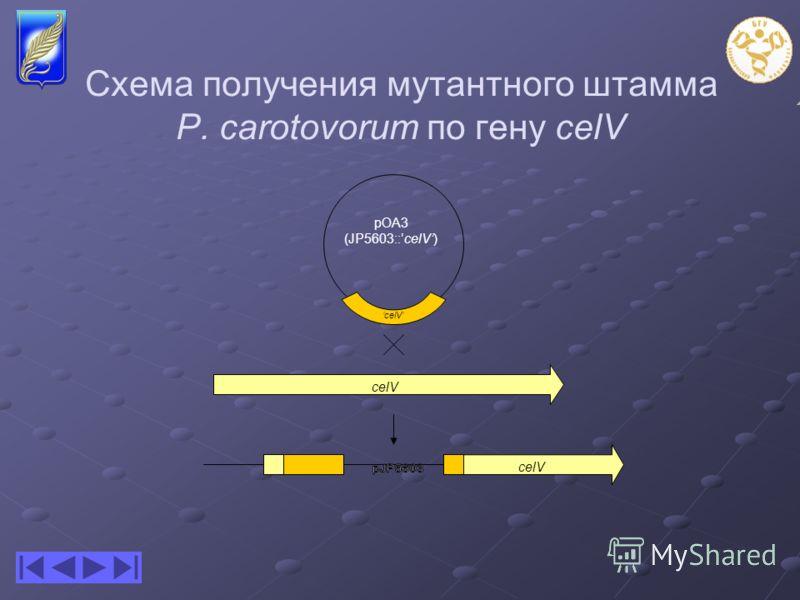Схема получения мутантного штамма P. carotovorum по гену celV pOA3 (JP5603::celV) celV