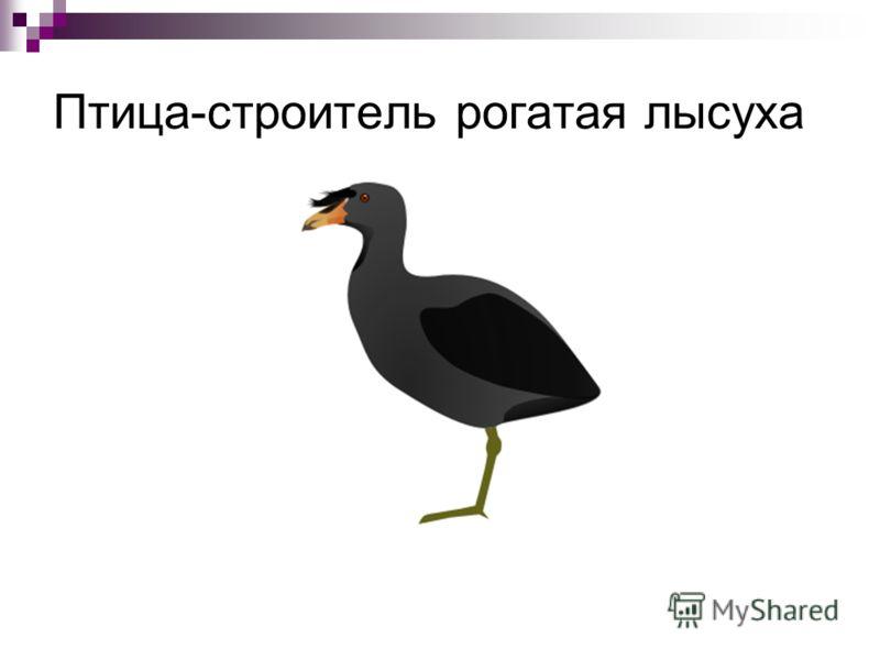 Птица-строитель рогатая лысуха