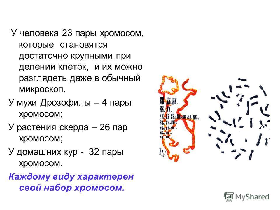 У человека 23 пары хромосом, которые становятся достаточно крупными при делении клеток, и их можно разглядеть даже в обычный микроскоп. У мухи Дрозофилы – 4 пары хромосом; У растения скерда – 26 пар хромосом; У домашних кур - 32 пары хромосом. Каждом