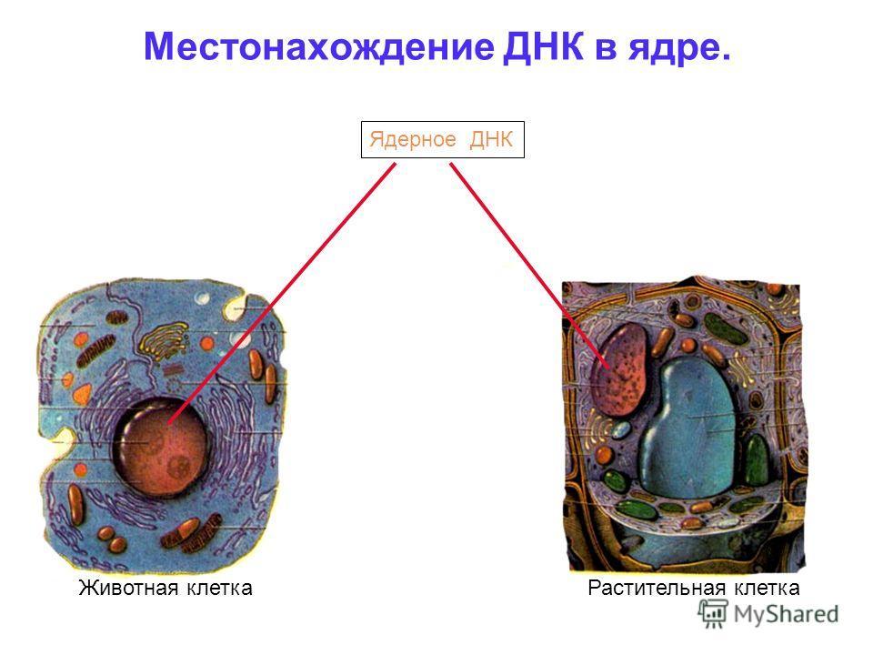 Местонахождение ДНК в ядре. Ядерное ДНК Животная клеткаРастительная клетка