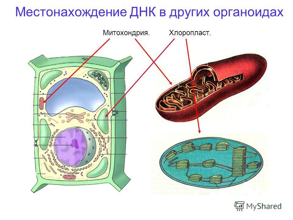 Местонахождение ДНК в других органоидах Митохондрия. Хлоропласт.