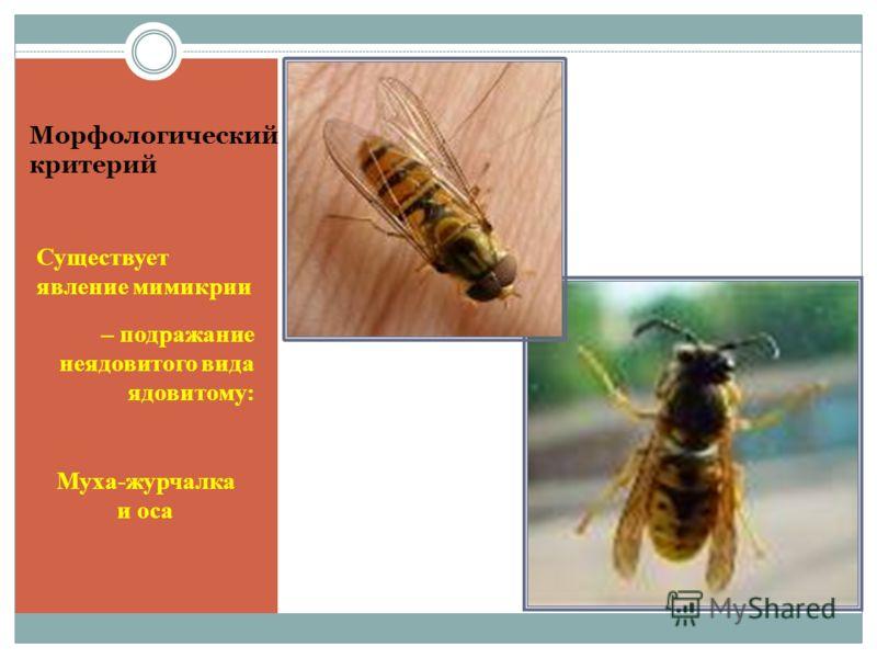 Морфологический критерий Существует явление мимикрии – подражание неядовитого вида ядовитому: Муха-журчалка и оса