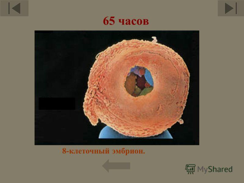 65 часов 8-клеточный эмбрион.