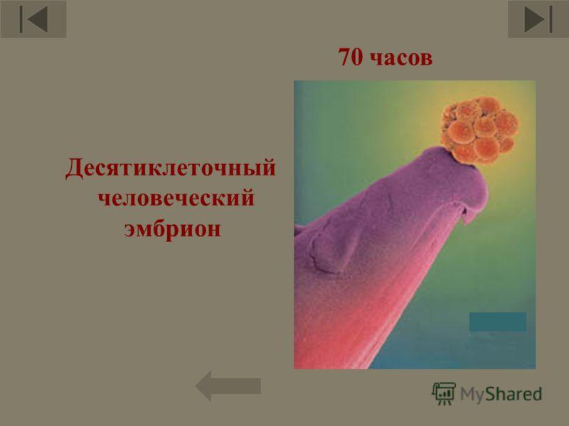 Десятиклеточный человеческий эмбрион 12 70 часов