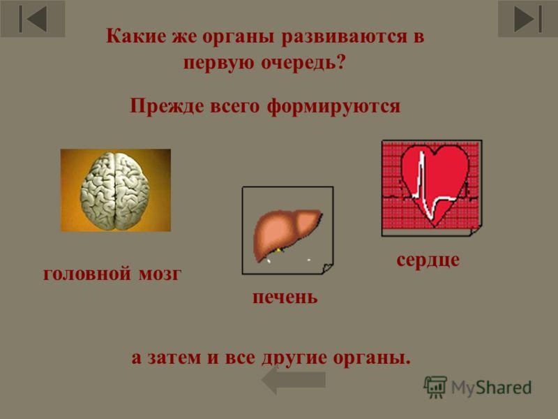 Какие же органы развиваются в первую очередь? Прежде всего формируются головной мозг печень сердце а затем и все другие органы.