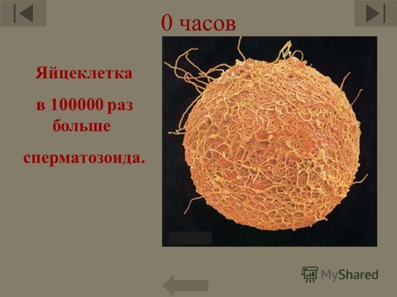 0 часов Яйцеклетка в 100000 раз больше сперматозоида. 6