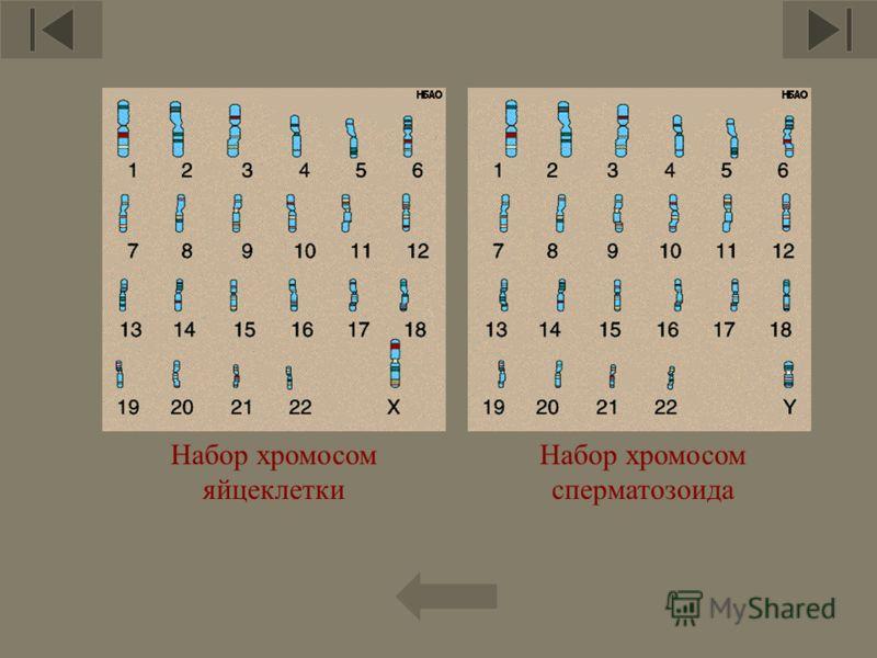 7 Набор хромосом сперматозоида Набор хромосом яйцеклетки