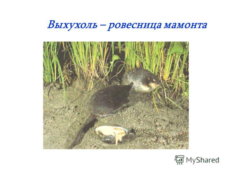 Выхухоль – ровесница мамонта