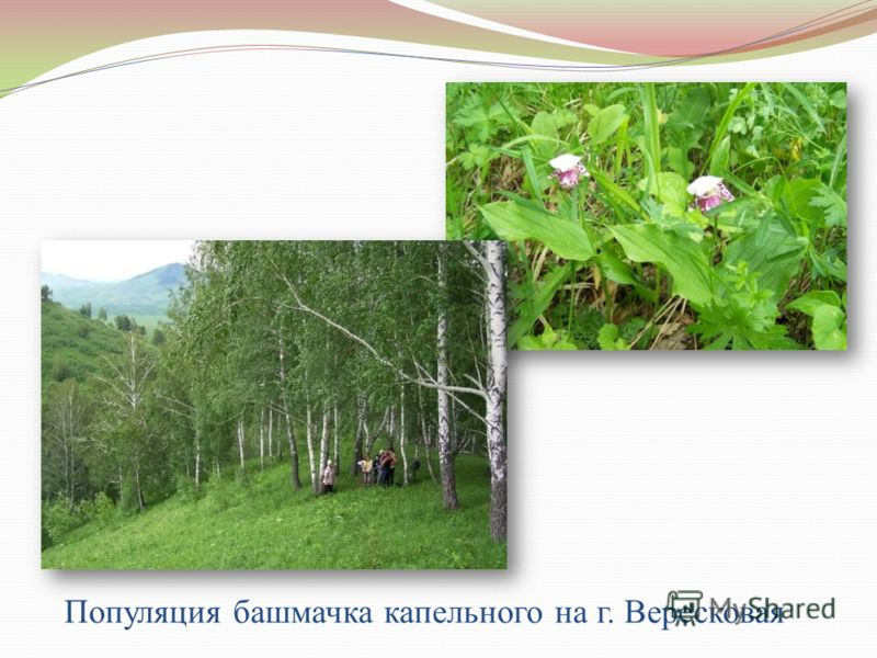 Популяция башмачка капельного на г. Вересковая