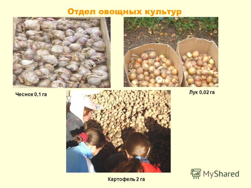 Отдел овощных культур Чеснок 0,1 га Лук 0,02 га Картофель 2 га