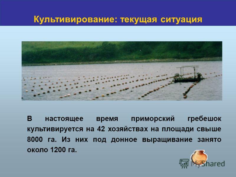 В настоящее время приморский гребешок культивируется на 42 хозяйствах на площади свыше 8000 га. Из них под донное выращивание занято около 1200 га. Культивирование: текущая ситуация