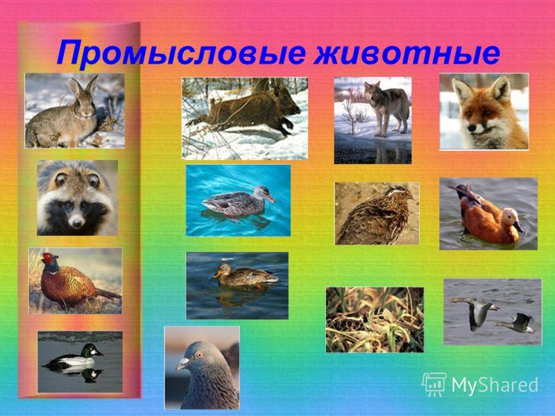 Промысловые животные