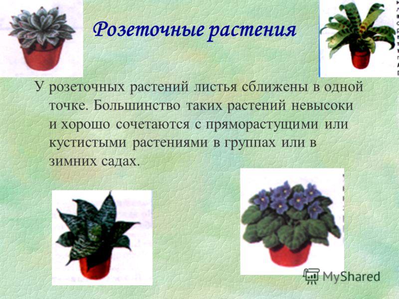 Ампельные растения всегда выращивают либо как висячие, и тогда их плети свисают из горшка вниз, либо как почвопокровные. У многих ампельных растений красивые листья и привлекательные цветы, и они лучше всего выглядят в висячих корзинах или в горшках,