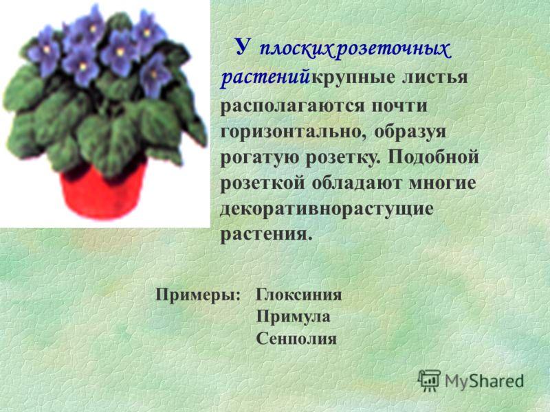 Розеточные растения У розеточных растений листья сближены в одной точке. Большинство таких растений невысоки и хорошо сочетаются с пряморастущими или кустистыми растениями в группах или в зимних садах.