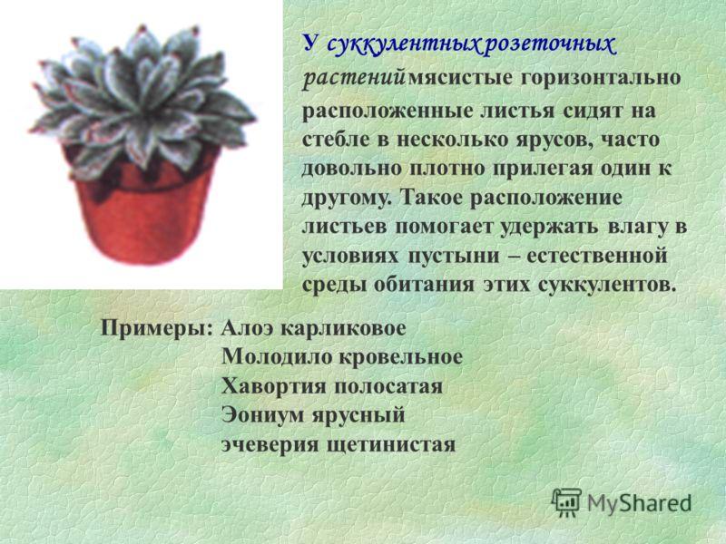 У плоских розеточных растений крупные листья располагаются почти горизонтально, образуя рогатую розетку. Подобной розеткой обладают многие декоративнорастущие растения. Примеры: Глоксиния Примула Сенполия