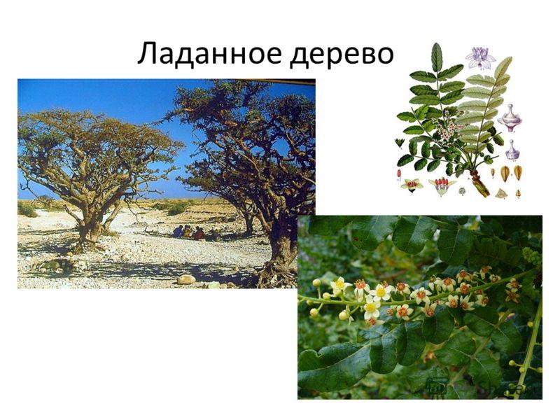 Ладанное дерево.